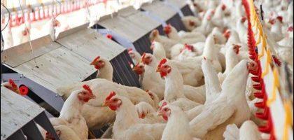 Vinç şirket Tavuklar
