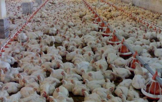 Broiler farms Nosratiye