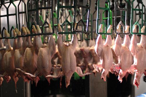شرکت کشتارگاه صنعتی درنا مرغ دلیجان